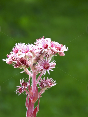 Sempervivum variety mahogany stock photo, A sempervivum flower in summer by Mike Smith