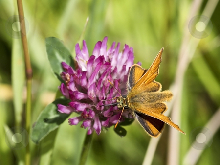 A small skipper on a clover flower stock photo, A small skipper butterfly on a clover flower in summer by Mike Smith
