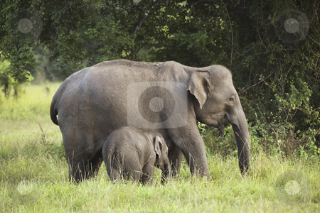 Mother and baby elephant 3 stock photo, A mother and baby elephant in wasgomuwa national park sri lanka by Mike Smith