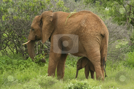Mother and baby elephant stock photo, A baby elephant sheltering under its mother in samburu national park northern kenya by Mike Smith