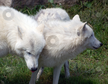 Arctic Wolf stock photo, Portrait of two Arctic Wolves on a sunny day by Alain Turgeon