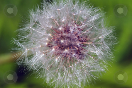 Dandelion stock photo, Closeup picture of a dandelion or taraxacum in bloom by Alain Turgeon