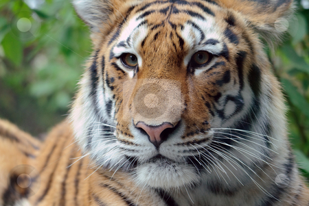 Siberian Tiger stock photo, Closeup picture of a Siberian Tiger on a Summer day by Alain Turgeon
