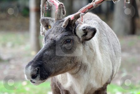 Reindeer stock photo, Closeup picture of a reaindeer losing the velvet on its antlers by Alain Turgeon