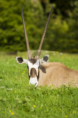 Gemsbok stock photo, Close up of a Gemsbok (Oryx gazella) by Stephen Meese