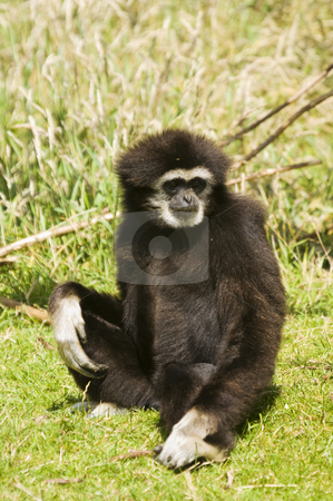 White Handed Gibbon stock photo, Close up of a White Handed Gibbon (Hylobates lar) by Stephen Meese