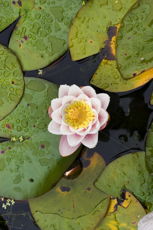 Water Lily stock photo, Close up of a White water lily in pond Gwynedd Wales by Stephen Meese