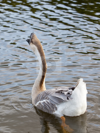 Swan goose male 2 stock photo, A male swan goose anser cygnoides swimming by Mike Smith