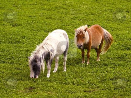 Two shetland ponies stock photo, An image of two shetland ponies in a summer meadow by Mike Smith