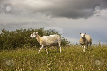 Sheep on grassy hillside indramatic light stock photo, Two sheep on grassy hillside with dramatic sky and clouds by Mike Smith