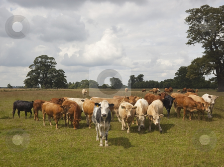 Young heifers stock photo, A herd of young heifers in parkland pasture in summer by Mike Smith