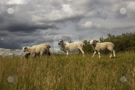 Two sheep on hillside stock photo, Two sheep on a hillside in dramatic light by Mike Smith