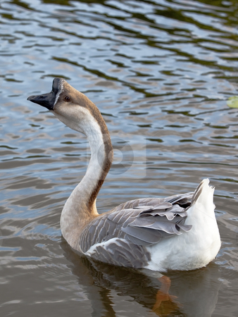 Swan goose male stock photo, A male swan goose anser cygnoides swimming by Mike Smith