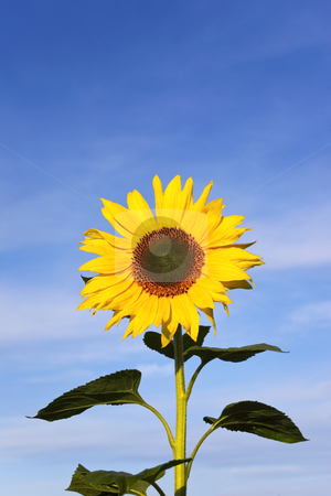 Sunflower and sky 2 stock photo, A bright yellow sunflower in summer under a blue sky by Mike Smith