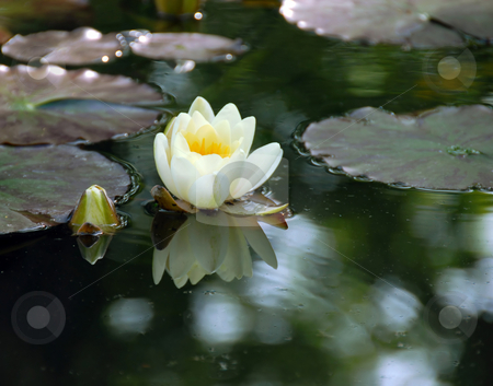 White water lily stock photo, White water lily on green lake water by Julija Sapic