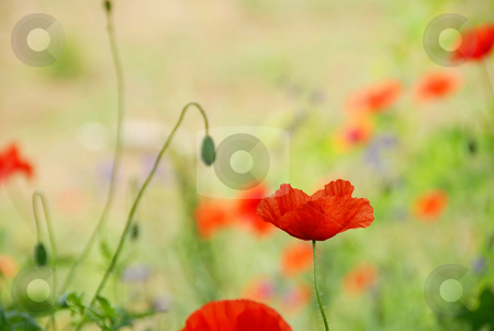 Red poppy stock photo, Red poppy flower over green blur summer background by Julija Sapic