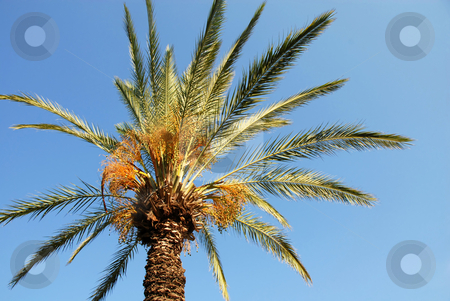 Palm crown stock photo, High green palm crown over blue sky by Julija Sapic