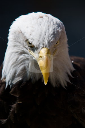 Bald Eagle stock photo, A Bald Eagle looking at you on a dark background by David Gallaher