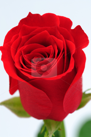 Red rose   stock photo, Close up of Red rose by Jaggat Images