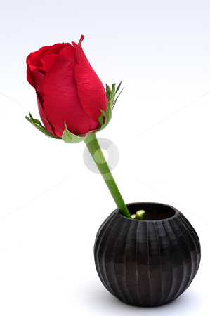 Red rose   stock photo, Red rose on white background by Jaggat Images