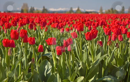 Mass Red Tulip Field in the Morning stock photo, This shot is a massive red tulip field in the morning with mountains and hazy sky in the background for a visually stunning photo. by Valerie Garner