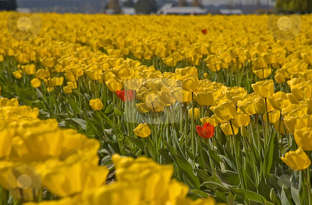 Standing Out in the Crowd stock photo, This photo concept of standing out in the crowd shows a massive yellow tulip field with 3 red tulips that stand apart. by Valerie Garner