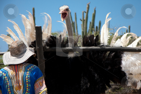 Angry Ostrich stock photo, An angry ostrich threatens his keeper on a farm an Aruban Ostrich Farm. by Tyson Koska