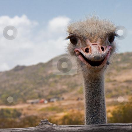 Smile, Ostrich! stock photo, Ostrich farm in Aruba. by Tyson Koska