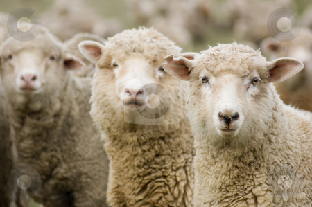 Sheep in a row stock photo, Three sheep within a mob all turning to look in the same direction by Lee Torrens