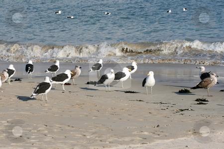 Seagulls stock photo, Flock of Seagulls standing on the beach by Vanessa Van Rensburg