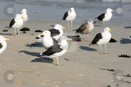 Seagulls stock photo, Flock of Seagulls standing on the beach by Vanessa Van Rensburg
