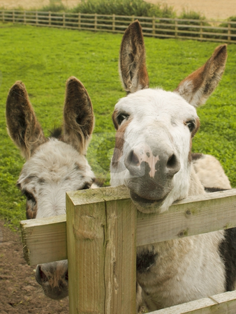 Two donkeys in a paddock stock photo, Two donkeys in a paddock on a summers day by Mike Smith