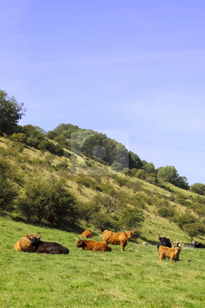 Highland cows in a valley stock photo, A herd of highland cows in a valley in summer by Mike Smith