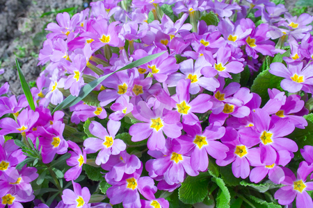 Primrose stock photo, Primrose by Minka Ruskova-Stefanova