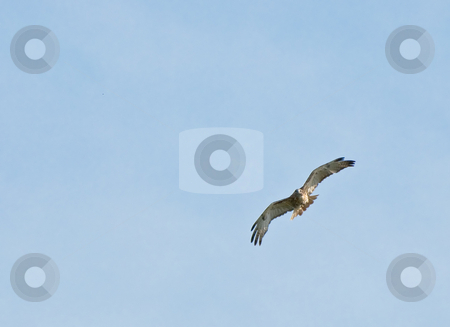 Hawk stock photo, An adult hawk shot with lots of blue sky copyspace by Richard Nelson