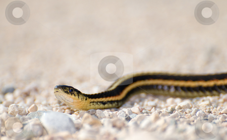 Garter Snake stock photo, An adult garter snake slithering across some gravel by Richard Nelson