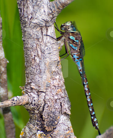 Large Dragonfly stock photo, A large dragonfly taking a break on a branch by Richard Nelson