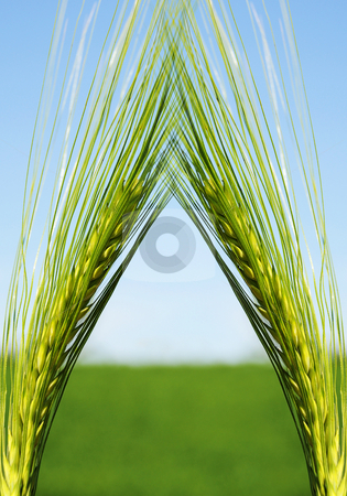 Longhaired Crop stock photo, Crop - The worlds largest food source. by Tony Lott N??rnberger