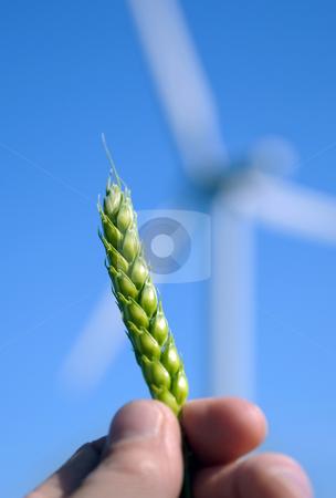 Wind Crop stock photo, Crop in hand by Tony Lott N??rnberger