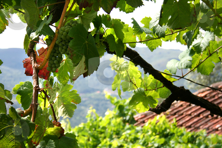 Grape stock photo, Seassonal red and green grape on a rural village by Marc Torrell