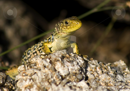 Lizard stock photo, Big green and blue lizard on a sunny rock by Marc Torrell