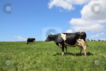 Chewing the Cud stock photo, A black and white Dairy Cow stands quietly chewing the cud in her pasture against a blue cloudy sky. by Gozzoli