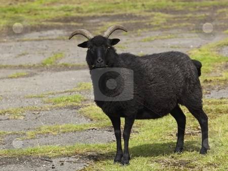 Hebridean sheep stock photo, A hebridean sheep on common land in summer by Mike Smith