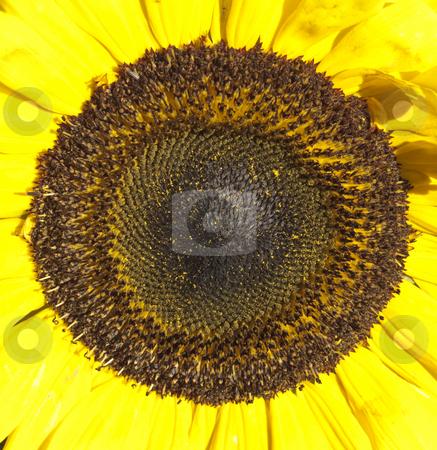 A Closeup shot of a Sunflower! stock photo, A closeup of a sunflower centre flower by Stephen Clarke