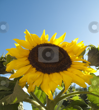 Sunflower! stock photo, A closeup of a sunflower with a blue sky in the background by Stephen Clarke