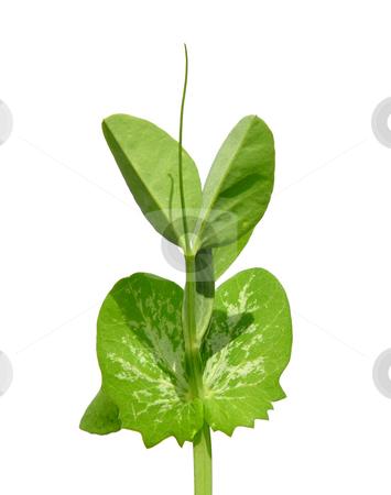 Pea seedling stock photo, Pea seedling by Robert Biedermann