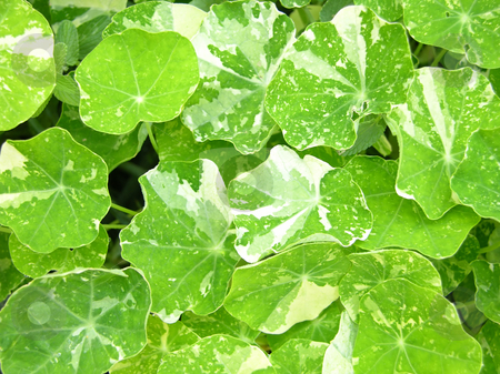 Background of bright green water cress leaves stock photo, Background of bright green water cress leaves by Robert Biedermann