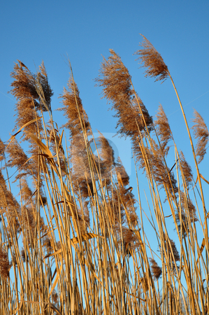 Reed stock photo, Reed by Robert Biedermann