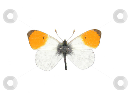 Orange tip (Anthocharis cardamines) stock photo, Orange tip (Anthocharis cardamines) by Robert Biedermann