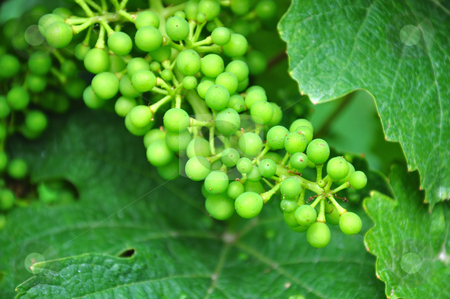 Young wine grapes stock photo, Young wine grapes by Robert Biedermann